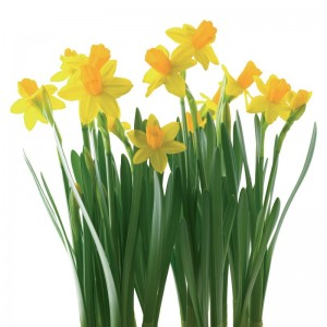 conseils jacinthe fleurie